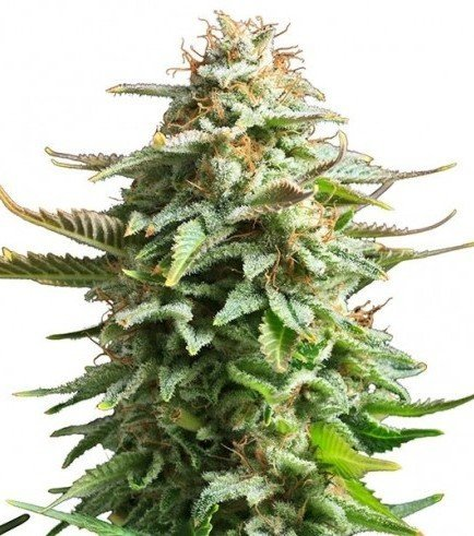 Pineapple Kush (Zativo Seeds)