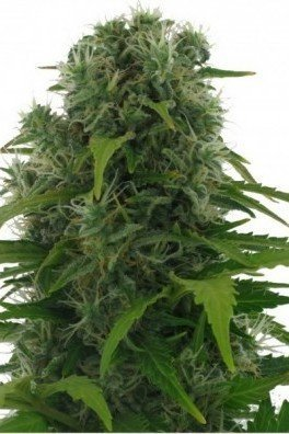 Northern Lights Autoflowering (Zativo Seeds)