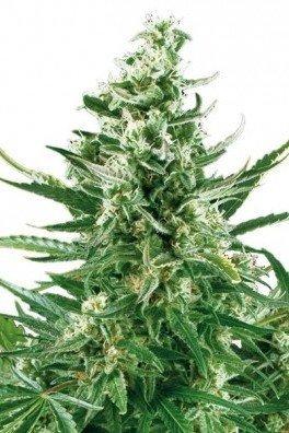 Critical Autoflowering (Zativo Seeds)
