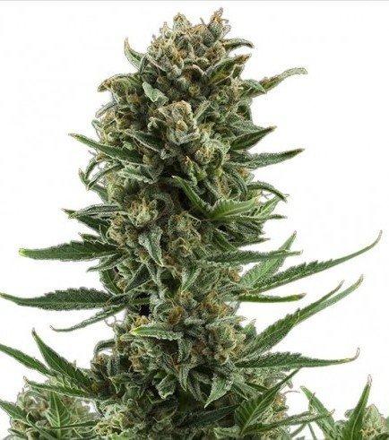 White Widow Autoflowering (Zativo Seeds)