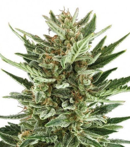 cannabis seeds cannabis seed banks zativo seeds critical cheese
