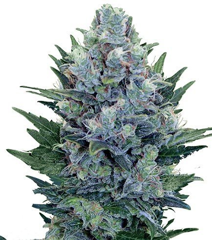 Blue Cheese Autoflowering