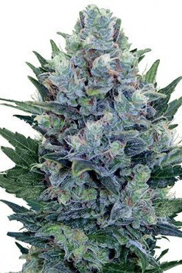 Blue Cheese Autoflowering (Zativo Seeds)