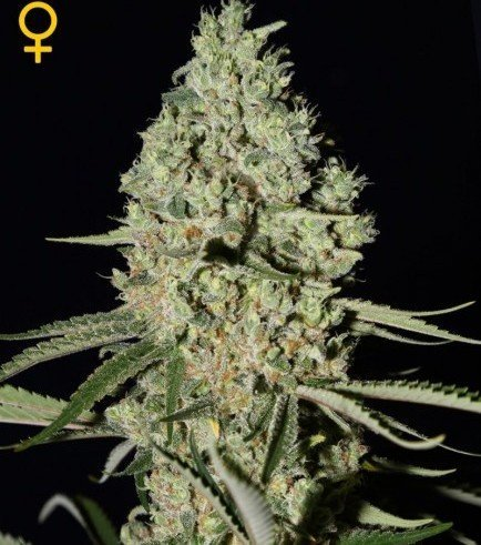 Top 5 Feminized Greenhouse Seeds - Zativo