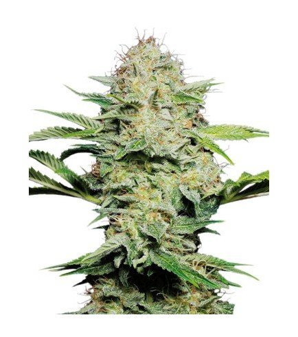 Sensi Skunk Automatic (Sensi Seeds)