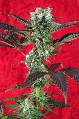Kalijah (Reggae Seeds)