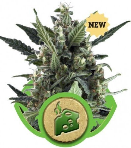 Blue Cheese Automatic (Royal Queen Seeds)