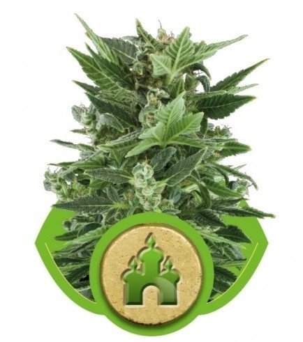 Royal Kush Automatic (Royal Queen Seeds)