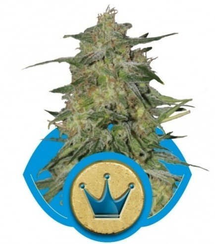 Royal Highness (Royal Queen Seeds)