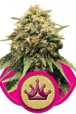 Special Queen 1 (Royal Queen Seeds)
