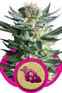 Fruit Spirit (Royal Queen Seeds)
