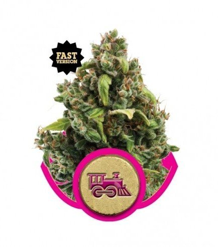 Candy Kush Express - Fast Version (Royal Queen Seeds)