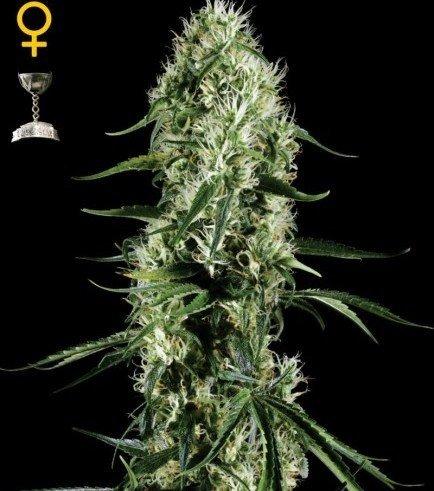 Super Silver Haze (Greenhouse Seeds)