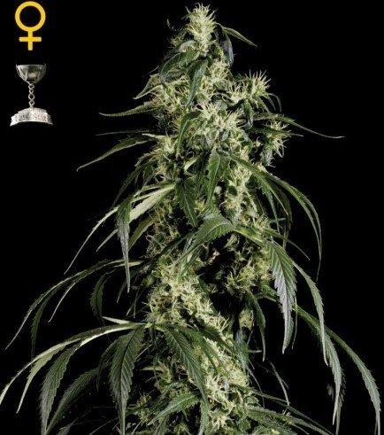 Arjan's Haze 1 (Greenhouse Seeds)