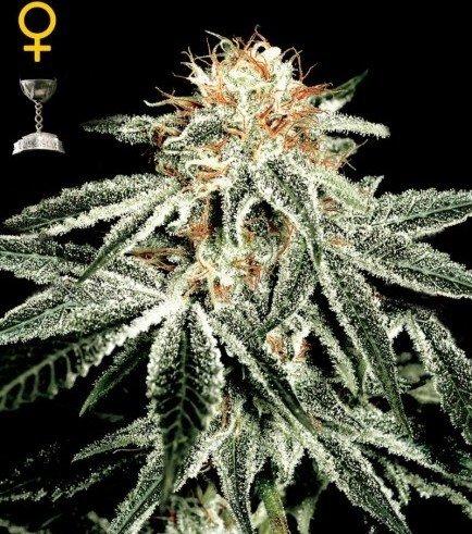 White Widow (Greenhouse Seeds)