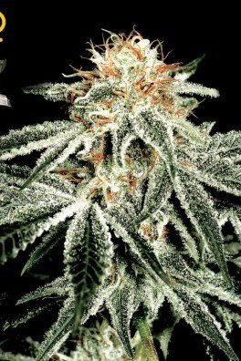 White Widow (Greenhouse Seeds)