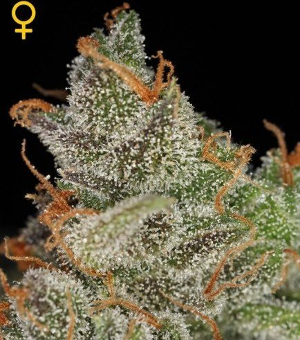 King's Kush (Greenhouse Seeds)