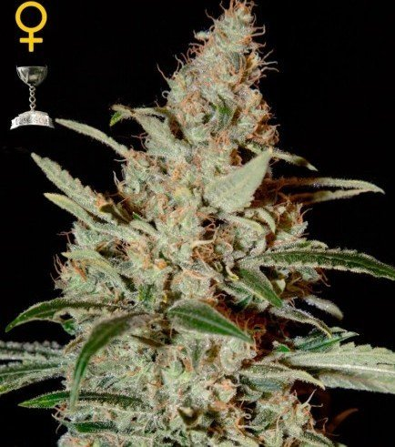 Chemdog (Greenhouse Seeds)