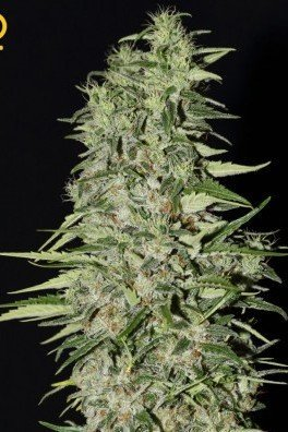 Diamond Girl (Greenhouse Seeds)