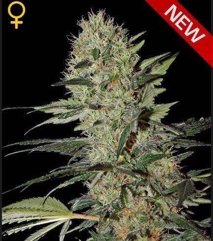 Exodus Cheese Autoflowering (Greenhouse Seeds)