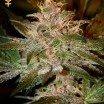 Pure Kush (Greenhouse Seeds)