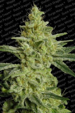 Allkush (Paradise Seeds)