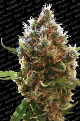 Lucid Bolt (Paradise Seeds)