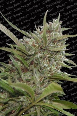 Auto Whiteberry (Paradise Seeds)