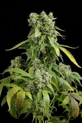 Blue Cheese Autoflowering (Dinafem)