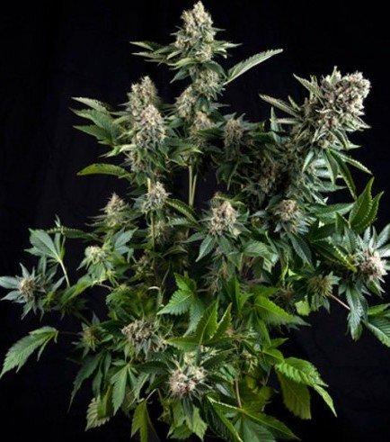White Widow (Pyramid Seeds)