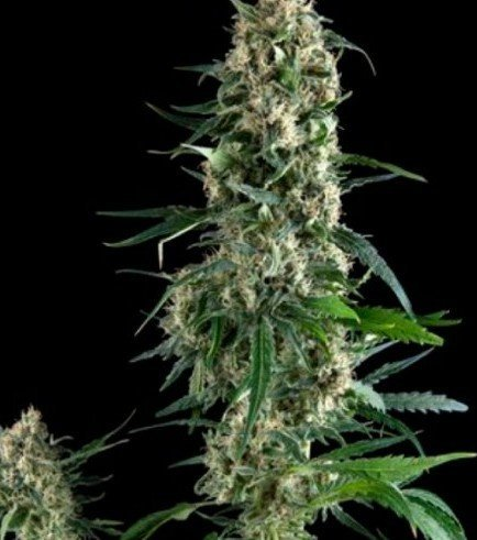 Amnesia Gold (Pyramid Seeds)