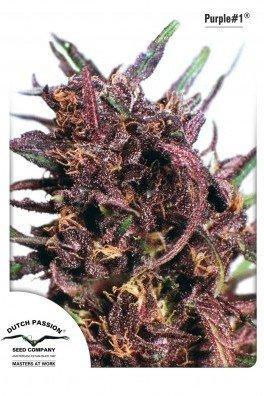 Purple 1 (Dutch Passion)