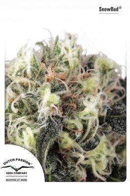 Snow Bud (Dutch Passion)
