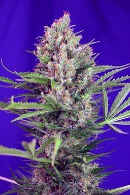 Cream Mandarine F1 Fast Version (Sweet Seeds)