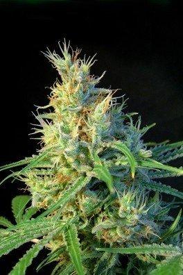 Psicodelicia (Sweet Seeds)
