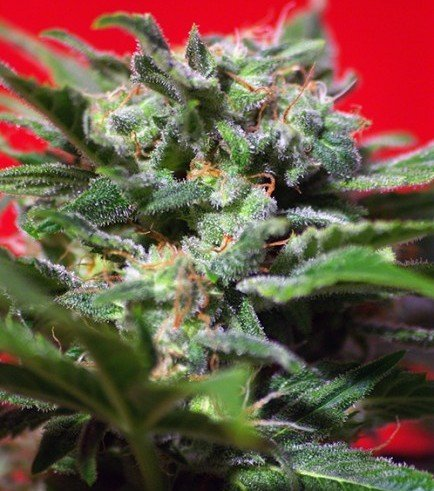 Ganesh Spirit (Sweet Seeds)