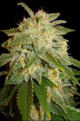 Kushadelic (Soma Seeds)