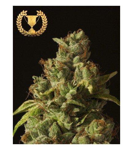 Rollex OG Kush (Devil's Harvest Seeds)