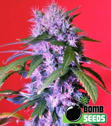 Berry Bomb (Bomb Seeds)
