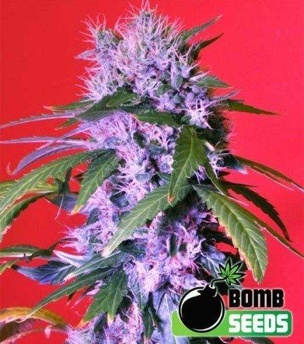Berry Bomb (Bomb Seeds)