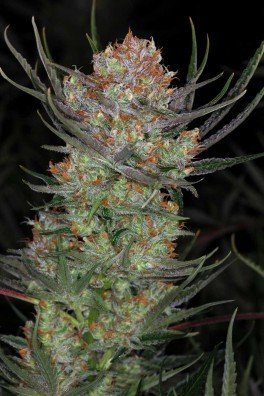 Brian Berry Cough (TGA Subcool Seeds)