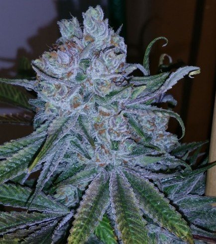 Go Time (TGA Subcool Seeds)