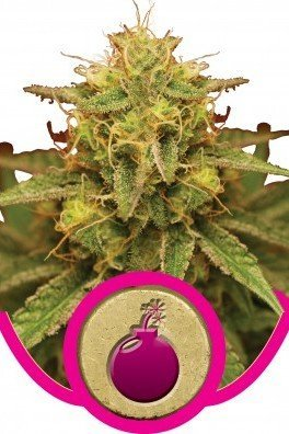 Royal Domina (Royal Queen Seeds)