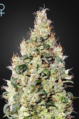 Exodus Cheese Auto CBD (Greenhouse Seeds)