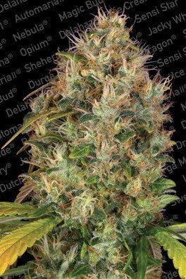 Dutch Kush (Paradise Seeds)
