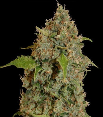Chronic Thunder (Barney's Farm)