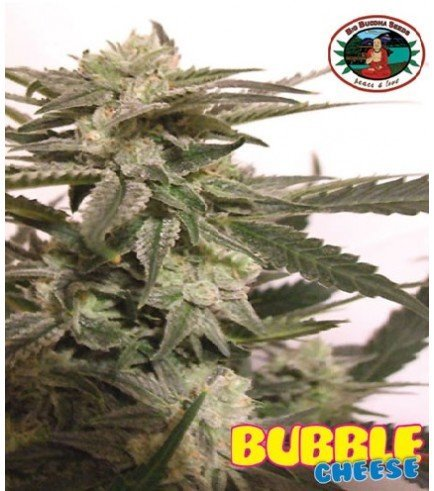 Bubble Cheese (Big Buddha Seeds)
