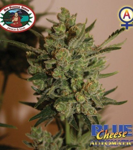 Blue Cheese Automatic (Big Buddha Seeds)