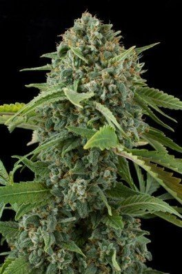 White Widow Autoflowering (Dinafem)