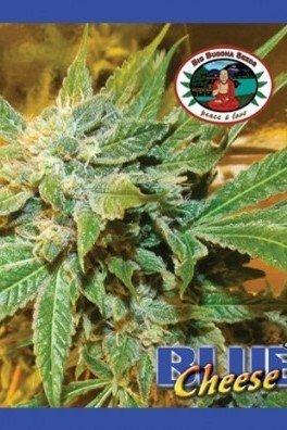 Blue Cheese (Big Buddha Seeds)